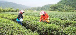 Ur-Shan Tea Garden Organic Farm